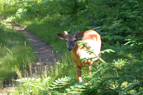 nova scotia wildlife, deer in nova scotia, animals in nova scotia, vacation rental houses in nova scotia, cottages nova scotia